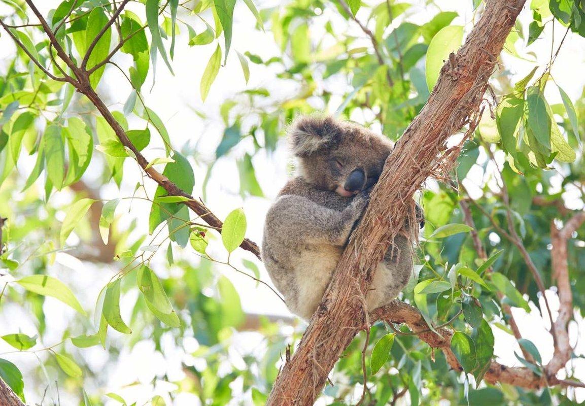 Koala-Great-Ocean-Road-Australie.thumb.jpg.1ac2ad8adfcc072de86092122b010d02.jpg