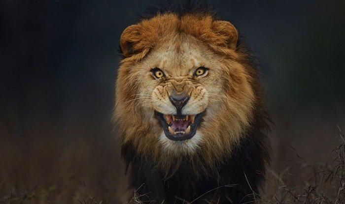 Atif-Saeed-Lion.jpg.a01900335a1544cd5e9acbc89b459a69.jpg