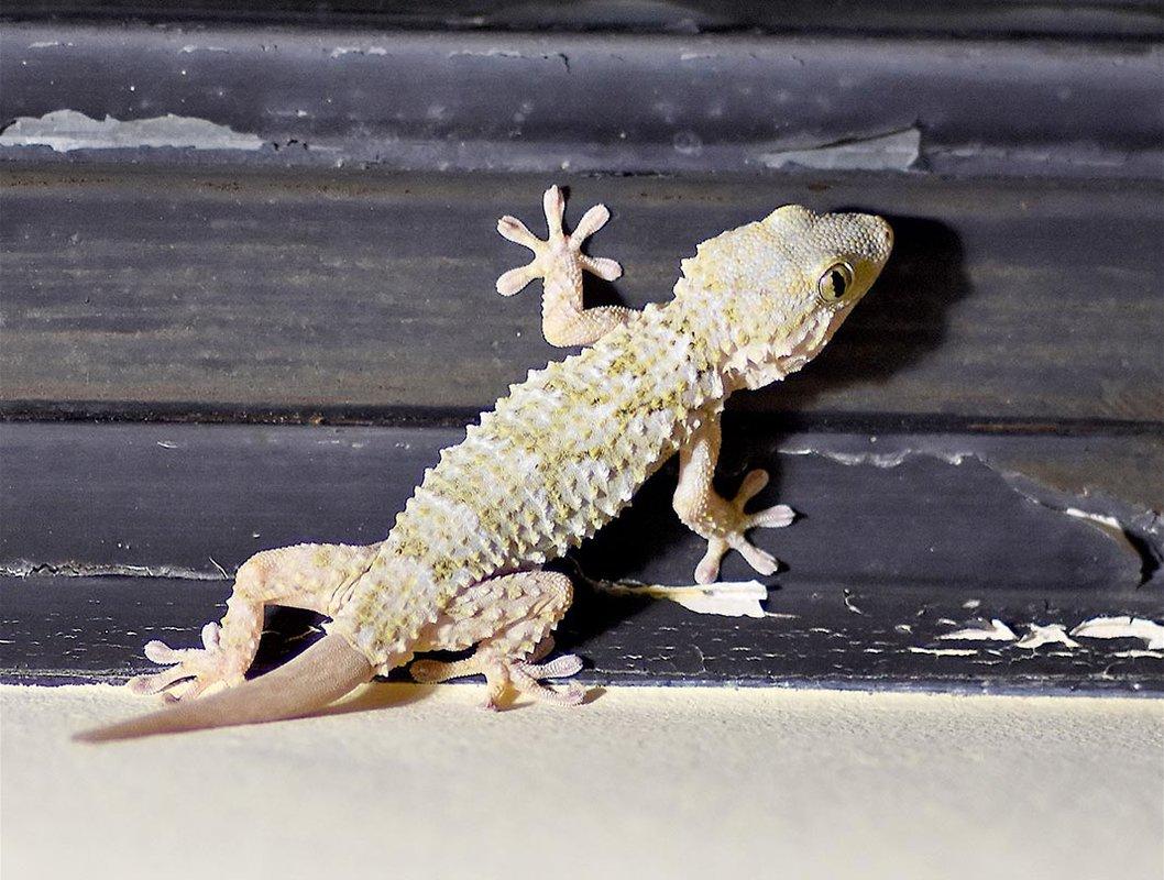 millau-gecko-tarente-mauretanie.thumb.jpg.4b6cecccc4c49dd1421bb42a5de54cc6.jpg